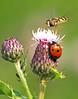 Take 2 (Mr Grimesdale) Tags: mr steve ladybird wallace ladybug hoverfly challengeyouwinner olympuse510 grimesdale britishinsectsinsectsinsect elitebug