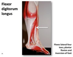 Flexor digitorum longus - Muscles of the Lower...