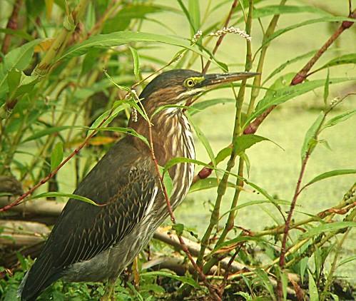 Green Heron - Héron vert  Boucherville   14 Août 2010   P8140069