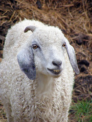 Hello There! (Javcon117*) Tags: county white animal barn md photoshoot farm horns maryland goat curly ram cumberland allegany mangers wmpa hazenroad javcon117 frostphotos westernmarylandphotographersassociation