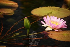 Pink Lily (veryvinita) Tags: pink summer game como flower nature waterlily stpaul sweep bigmomma thechallengefactory storybookwinner
