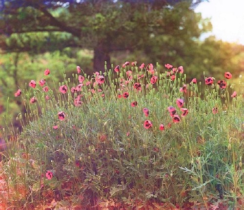 sergei-prokudin-gorsky-a-field-of-poppies-e1268031099578