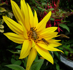 join the que (coxy2001) Tags: yellow panasonic sunflower hoverfly potofgold dmcfz28 mygearandmepremium