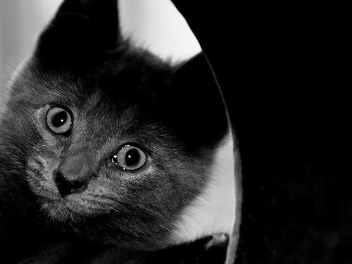 [フリー画像] 動物, 哺乳類, ネコ科, 猫・ネコ, 子猫・小猫, モノクロ写真, 201008221100