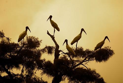 [フリー画像] 動物, 鳥類, コウノトリ科, アメリカトキコウ, セピア, 201008231700
