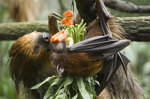 Ленивец и летающая лиса
