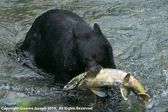 fish_creek_100809_1024 (graemej) Tags: bear black alaska fishing rainforest britishcolumbia unitedstatesofamerica salmon tongassnationalforest stewart salmonriver hyder spawning chum fishcreek alaksa fishcreekwildlifeobservationsite ursusamericanis