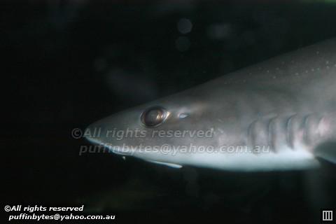 Gummy shark - Mustelus antarcticus