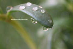 [EXPLORED] ( Anoud Abdullah AlHabib) Tags: sunlight green nature water drops all right reserved ماشاءالله mashalla noudy تباركالله