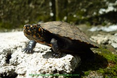 Indian Black Turtle or Indian Pond Terrapin Me...