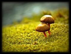 Pilze in Norwegen - 4 mm high - Norwegian mushrooms (NPPhotographie) Tags: macro art nature norway magic creative tiny oberberg mystic 4mm mywinners vanagram bestcapturesaoi elitegalleryaoi