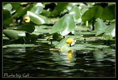 Lily Pads (Marcella k.) Tags: reflections waterlilys greenbeautyforlife