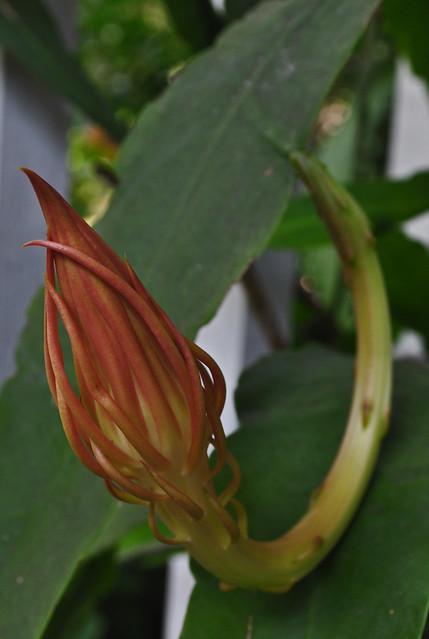 Epiphyllum oxypetalum 08-21-10 1429