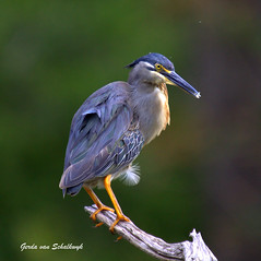 Green-backed beauty (gerdavs) Tags: krugernationalpark greenbackedheron butoridesstriata specanimal lakepanic avianexcellence knp2009