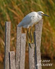 Snowy Egret (ROCKADEE_Two With Eagles 1951 / Rockey & Dee) Tags: wood post bokeh snowy wildlife maryland marsh egret shorebird rockey blackwaternwr naturerules rockadee birdinginthewild