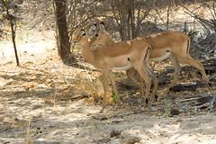 Female Impala - Selous Game Reserve, Tanzania