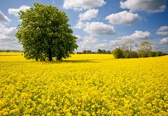 Oilseed rape field (wallybaz00m) Tags: flowers blue trees england sky horse cloud flower color colour tree field yellow clouds rural countryside photo spring nikon colorful bright farm farming may meadow seed sigma rape crop oil fields chestnut crops jody colourful wiltshire 1020 farn northwood colerne oilseed d90 gaisford wallybaz00m