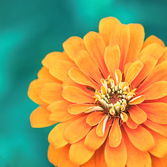 Flower Power. (CarolynsHope) Tags: blue orange flower color floral colors square petals nikon colorful aqua colours bright vibrant vivid crop zinnia flowerpower complementarycolors d90