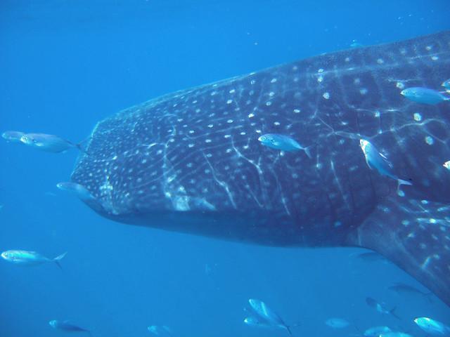 Cancun Whale Shark Snorkeling