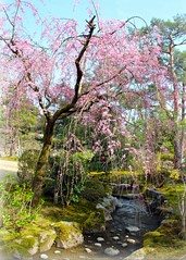 Japanese spring (Hopeisland) Tags: park trees plant nature japan cherry spring blossoms sakura cherryblossoms kanazawa