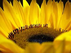 the sunflower (Pel3) Tags: uk greatbritain black macro london yellow nikon unitedkingdom giallo sunflower petali londra nero girasole corolla granbretagna flowercolors awesomeblossoms