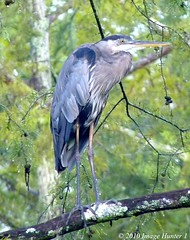Great Blue Heron In Cypress Tree After A Rain Shower (Image Hunter 1) Tags: blur heron nature water rain birds drops louisiana branch branches great beak feathers bayou swamp perch greenery perched marsh greatblueheron cypresstree lakemartin birdslouisiana cypressislandpreserve panasonicfz35