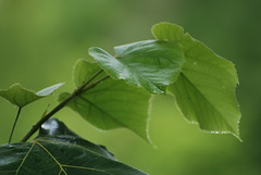 green on green (max - iogenovese) Tags: blur green closeup foglie photo nikon dof bokeh genova foglia acqua pdc goccia rosano vede d80 lapiccolacasa maxlapiccolacasa iogenovese maxfattorini