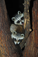 Baby Raccoons In Tree (Brian E Kushner) Tags: tree animals newjersey backyard nikon babies wildlife brian nj raccoon f28 audubon 70200mm kushner nikor backyardanimals babyraccoon nikon70200mmf28 d3s raccoonintree audubonnj bkushner brianekushner nikond3s