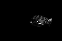 Plectorhinchus lineatus (Giuseppe Suaria) Tags: sea two bw white black uw water canon indonesia island marine wasser mare underwater pacific sub unter north under dive scuba diving e di housing diver fotografia oriental sulawesi bianco nero mata sotto pulau pacifico grunt nord manado external strobe dogfish isola grunts karang celebes sweetlips g11 sous bangka lined unterwasser plongee fotosub subacquea sottacqua inon sousmarine subacquee plectorhinchus d2000 obliquebanded yellowlined yellowbanded diagonalbanded labbradolci wpdc34 coraleye grugnitore glodmann goldmanni goldman´s
