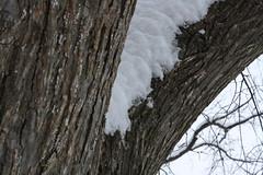 une branche blanche (jypsygen) Tags: wood winter white snow cold macro tree weather frozen dallas still branch quiet texas dof fluffy frosty powder depthoffield clean bark trunk dfw snowfall elm snowday snowedin powdered powderday wintry
