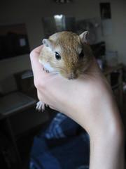 02-09-10 002 (shiro_ko) Tags: pets gerbil zen tao