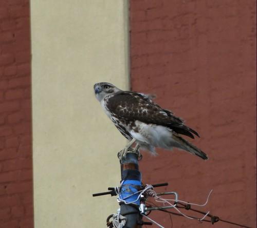 2-5-12 february 2011 022 falcon