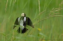Dolichonyx oryzivorus (Kevin Stohlgren) Tags: dolichonyx oryzivorus bobolink male calling territory wisconsin sony a77 70400g sal70400g ssm