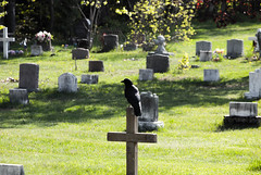 A sign? (Deebecks) Tags: animal bird graveyard raven saultstemarie