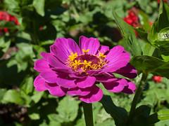 Blüte (Matthias Wicke) Tags: badherrenalb blume blüte gartenschau gartenschaubadherrenalb2017 kurpark landesgartenschau gelb rosa