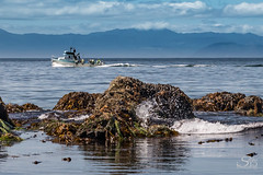 Passing Crab Boat at Low Tide (Selkii's Photos) Tags: britishcolumbia canada crabboat kelp mountain olympicmountains seascape strait straitofjuandefuca vancouverisland water boat lowtide mussels