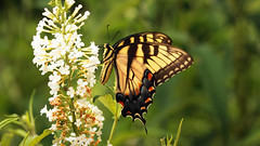 Butterfly Bliss (dorameulman) Tags: butterfly easternswallowtail butterflybush inmybackyard landscape northcarolina macro dorameulman color canon canon7dmark11 sigma105mmf28exdgmacroos outdoor haiku