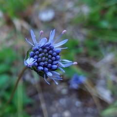2017-07-03_01-37-27 (borneirana) Tags: frores fror flowers blume azul lila morado blue purple natur natureza naturaleza jardín verano veran