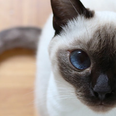 Celine (angie.martina) Tags: thaicat cat kitten blueeyes pet cats detail macro sealpoint chocolatepoint supercute funny animal portrait reflex canon 760d italy light summer pink red chocolate brown color july shadows pretty inside creative digital art design day mono effect home room blue eyes view indoor point siamese thai celine