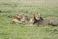 IMGP1801 (petercan2008) Tags: rey de la selva leones familia real leon leona masai mara africa kenia felinos carnívoros