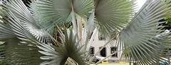 Palmeira azul (Rctk caRIOca) Tags: catete jardim do museu da república rio de janeiro