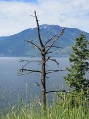 Bare tree (trilliumgirl) Tags: kootenay lake bc british columbia canada sky blue mountain tree dead water
