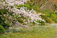 Cherry blossoms floating on the pond in a traditional Japanese Garden, Kyoto Japan (Hopeisland) Tags: old pink flowers trees plant tree nature japan garden cherry temple spring kyoto blossoms april sakura cherryblossoms colourful 2010 tojitemple toji       4   colorphotoaward
