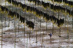 3370 Drying kelps--Xiapu , Fujian Province , China (ngchongkin) Tags: china niceshot photos kelp fujian soe nationalgeographic musictomyeyes themoulinrouge polestar finegold zafiro hiddentreasure beautifulshot theworldinmyeyes anythingyoulike peaceaward avpa flickrhearts flickraward flickrbronzeaward crystalawards xiapu ultimategold flickrsspecial eperkeaward flickrsheaven dazzlingshots flickridol flickrestrellas brilliantphotography thebestshot highqualityimages spiritofphotography discoveryphotos 469photographer grouptripod photographersworld photographerparadise artofimages fabbow angelawards thebestvisions visionaryartsgallery contactaward totaltalent youandtheworld pegasusaward flickrsgottalent bestpeopleschoice zodiacawards mygearandme fireworksofphotos fabulousplanetevo flickrbronzetrophy iftherewouldbeaflickrshop photographyforrecreationbronzeaward highqualityimagequaifiedmembersonly pegasusbronzetrophy