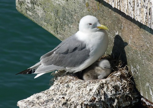 22030 - Kittiwakes on Mumbles Pier