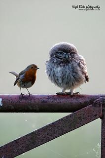 Little Owl, Athene noctua, juvenile and European Robin, Erithacus rubecula.