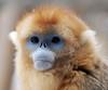 Golden monkey (floridapfe) Tags: blue face animal zoo monkey golden nikon korea everland 황금원숭이 goldensnubnosesdmonkey