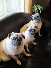 three pugs on the couch