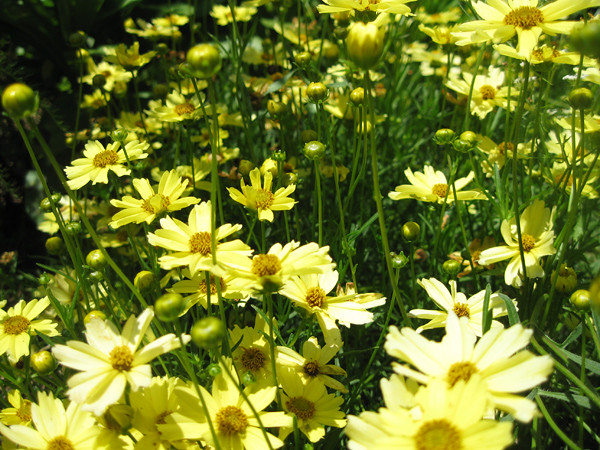 moonbeam-coreopsis