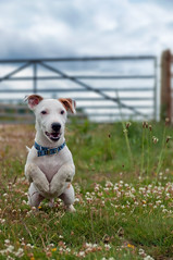 Rocky-Roo (Dan Baillie) Tags: dog pet grass puppy scotland spring jump rocky terrier jackrussell pup collar bound bounce galloway wigtownshire danbaillie bailliephotographycouk bailliephotography wigtownshirephotographer dumfriesandgallowayphotography